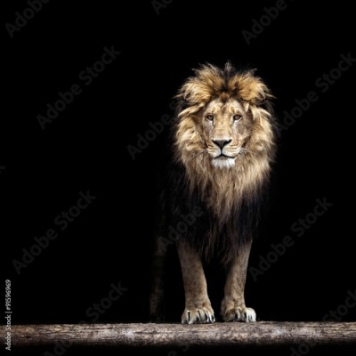Obraz Portrait of a Beautiful lion, lion in the dark