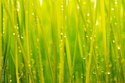 Obraz na Szkle Morning dew, green grass and water drops background