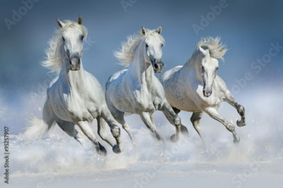 Plakat Three white horse run gallop in snow