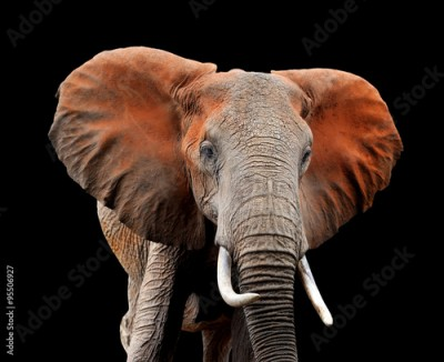 Fototapeta Elephant on dark background