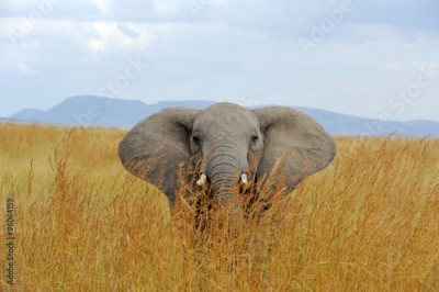 Fototapeta Elephant in National park of Kenya