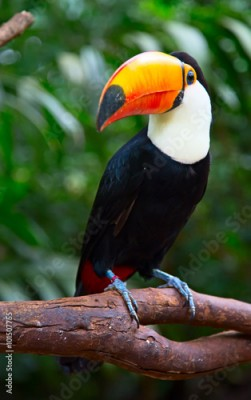 Plakat Colorful tucan
