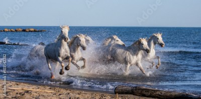 Panel Szklany White Camargue Horses galloping along the sea beach. Parc Regional de Camargue. France. Provence. An excellent illustration