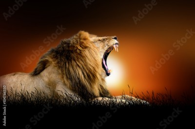 Fototapeta Lion on the background of sunset