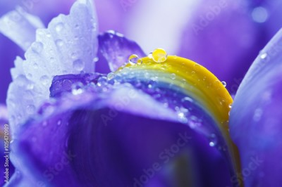Fototapeta Purple Iris petals with water droplets