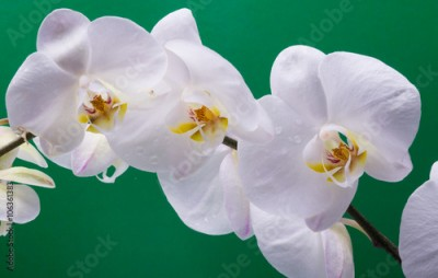 Fototapeta White orchid isolated on bright color