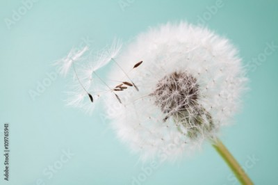 Plakat Beautiful dandelion flowers with flying feathers on turquoise background, vintage card, macro