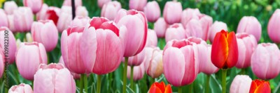 Fototapeta Vibrant colorful panoramic holiday or birthday background with beautiful closeup pink tulips flowerbed