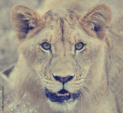 Fototapeta Close lion in National park of Kenya
