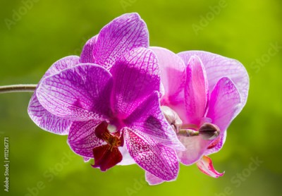 Fototapeta Purple blooming orchid on a green blurred background