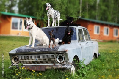 Obraz Many beautiful dogs on an old car