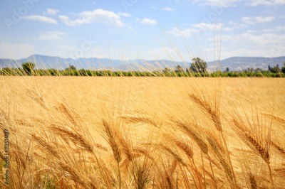 Obraz na Szkle ear of wheat field in summer