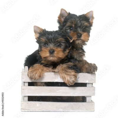 Obraz young yorkshire terrier