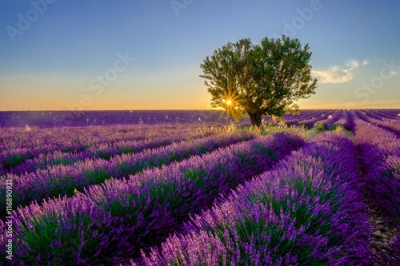 Obraz Tree in lavender field at sunset in Provence, France