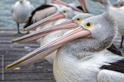 Obraz Pelican close up portrait on the beach