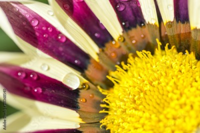 Fototapeta Beautiful flower Gazania with dew drops