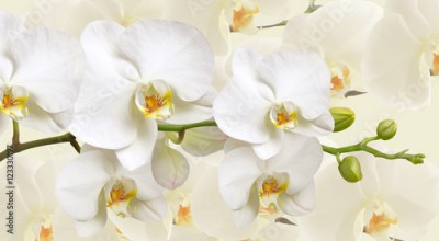 Obraz Large white Orchid flowers in a panoramic image