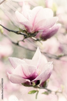 Fototapeta Blossoming of magnolia white flowers in spring time, retro vintage hipster image