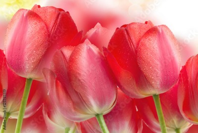 Fototapeta Tulip flowers close up