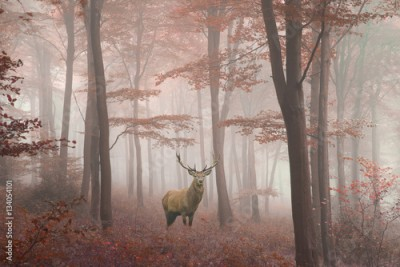 Obraz Beautiful image of red deer stag in foggy Autumn colorful forest