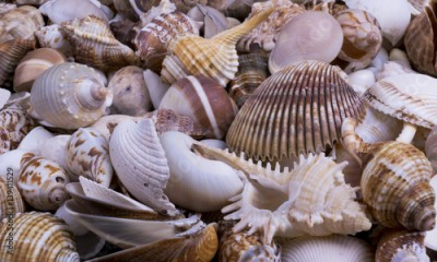 Fototapeta Seashells background - macro shot of beautiful seashells