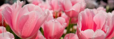 Fototapeta Pink tulips background.