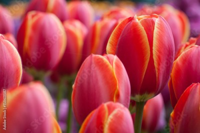 Fototapeta dutch tulips